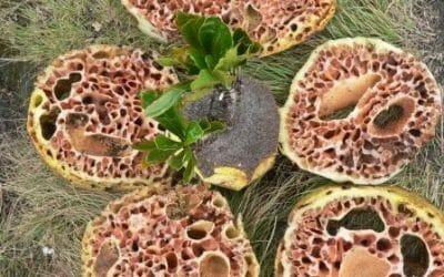 Sejarah Sarang Semut Papua yang Banyak Dicari Untuk Herbal di Jakarta