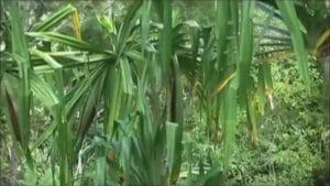 Kebuh Buah Merah Papua