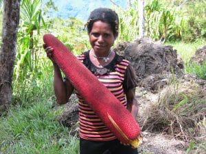 buah merah segar papua asli dan palsu