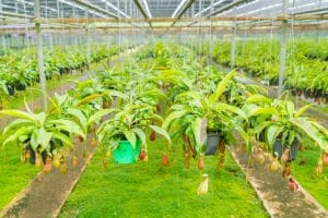 kebun buah merah papua 02