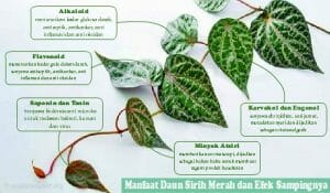 5 khasiat daun sirih merah