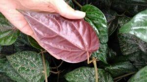 cara mendapatkan khasiat daun sirih merah