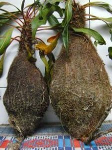 khasiat sarang semut merah papua