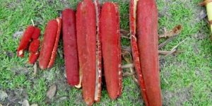 jual sarang semut di tangerang buah merah papua