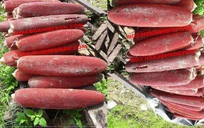 Tanaman untuk Daya Tahan Tubuh Buah Merah
