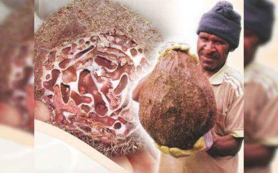 Herbal Sarang Semut Papua di Jakarta Dengan Berbagai Manfaat